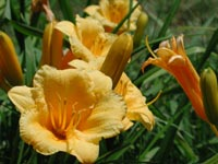 Stella D Oro Day Lily
